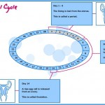 The Menstrual Cycle - Diagram